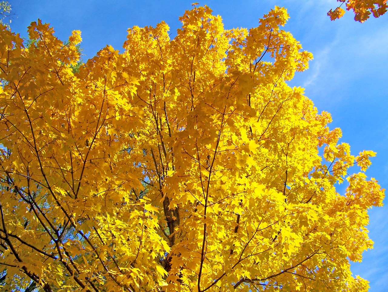 A golden yellow maple brings fall into your landscaping. Call Cypress Lawn today for all your fall landscaping needs!